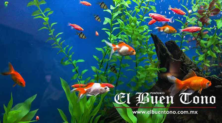 Fortalecen la cr a de peces for Cria de peces ornamentales